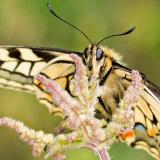 Swallowtail resting on nettle