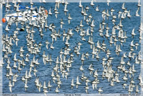 A Flock of Knots