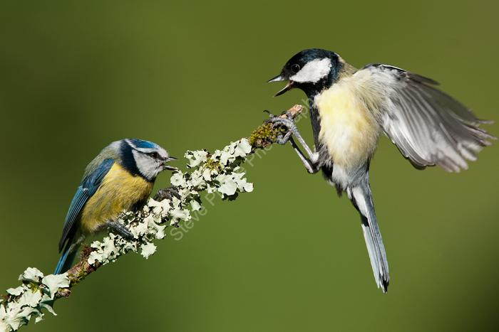 Tit conflict