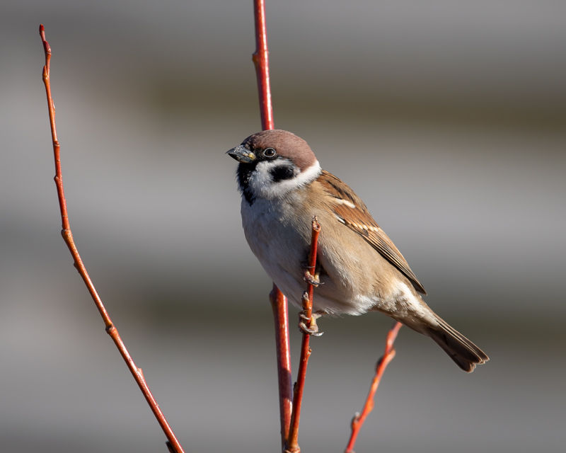 male Tree Sparrow