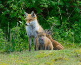 Red Fox Vixen and Cubs
