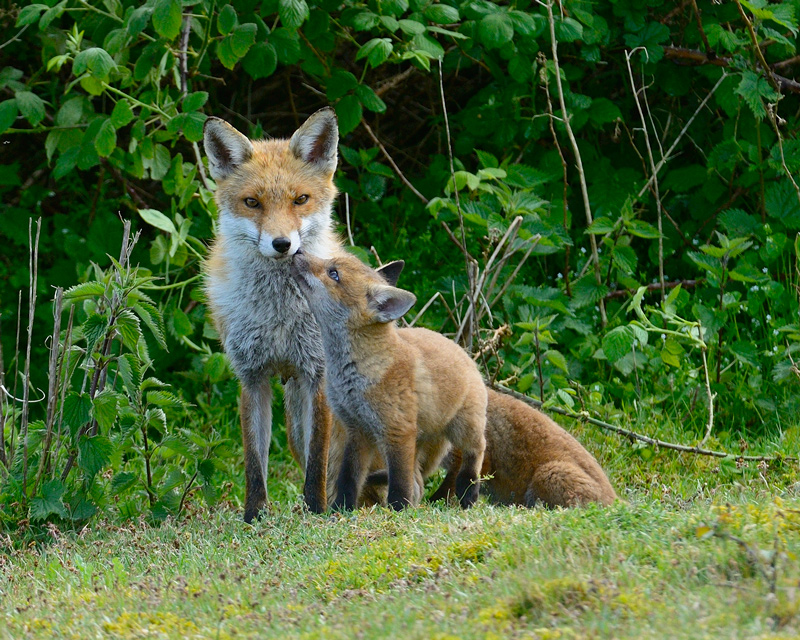 Red Fox Vixen with Cubs