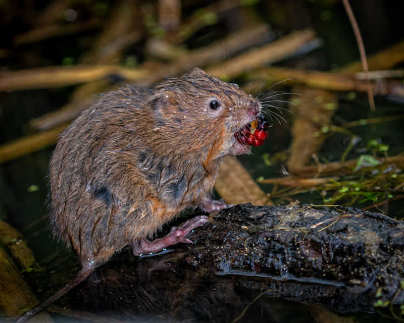 Water Vole with blackberry