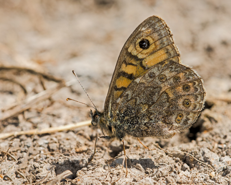 Wall - underwing