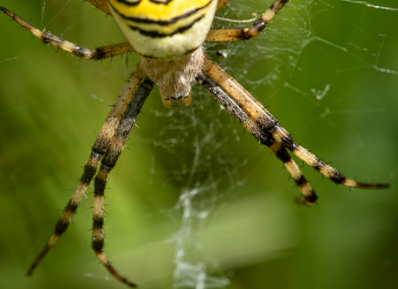 Business end of a Wasp Spider