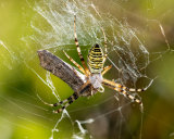 Wasp Spider with a recent catch