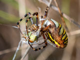 Wasp Spider and fangs