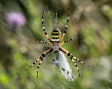 Wasp Spider with a small white butterfly