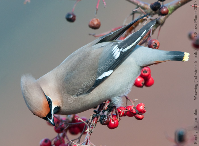 Waxwing female