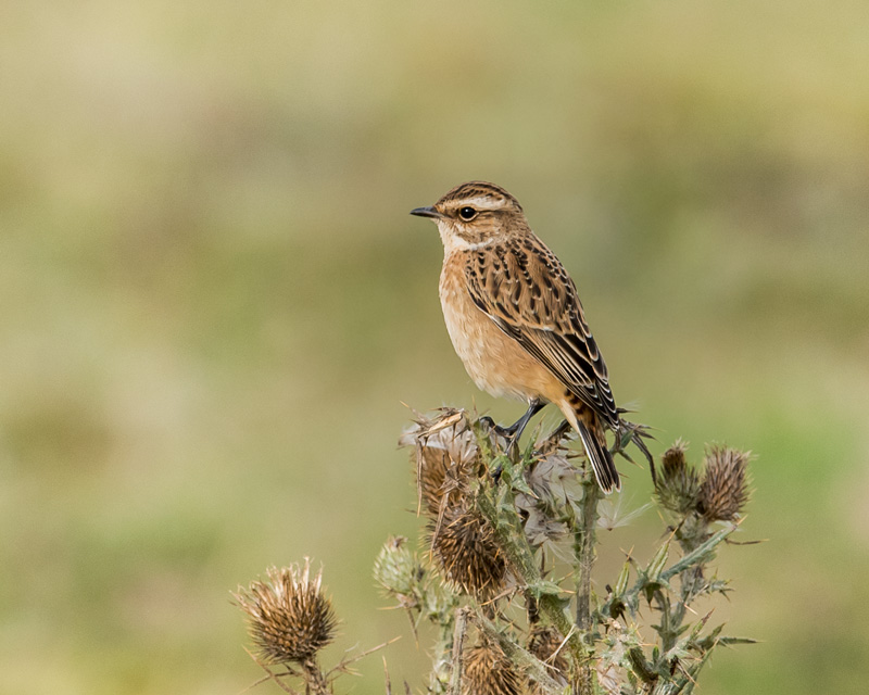 Whinchat on thistle
