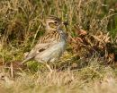 Woodlark and food