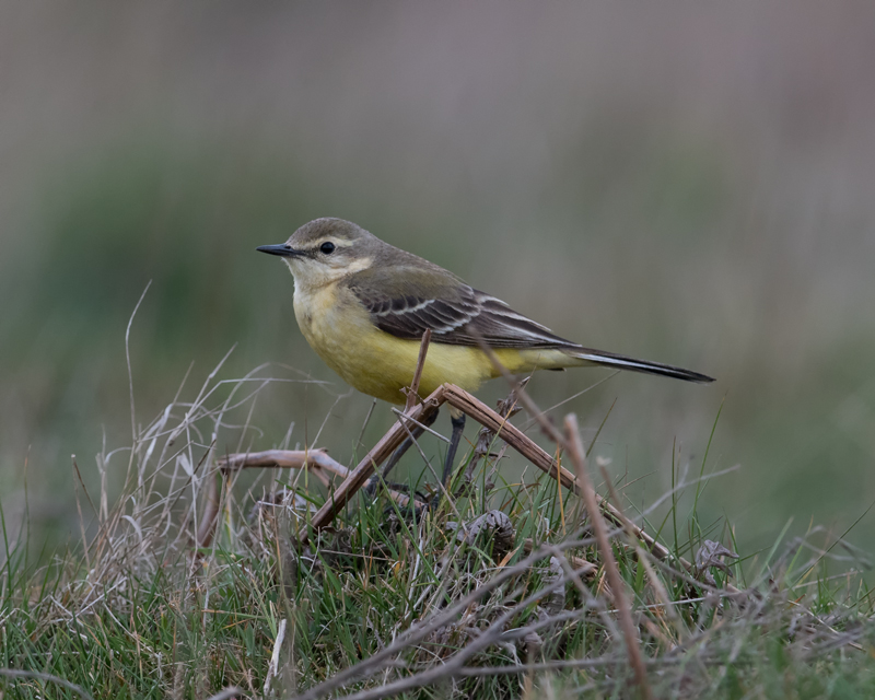 Yellow Wagtail - female