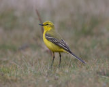 Yellow Wagtail - male