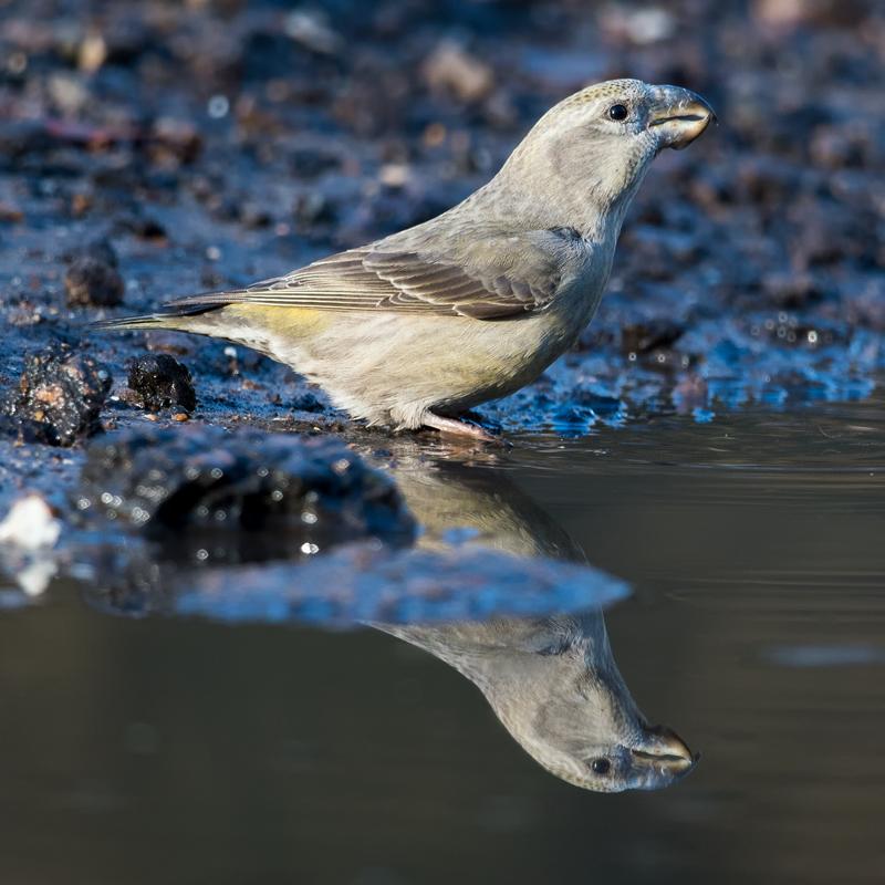 Female Parrot Crossbill