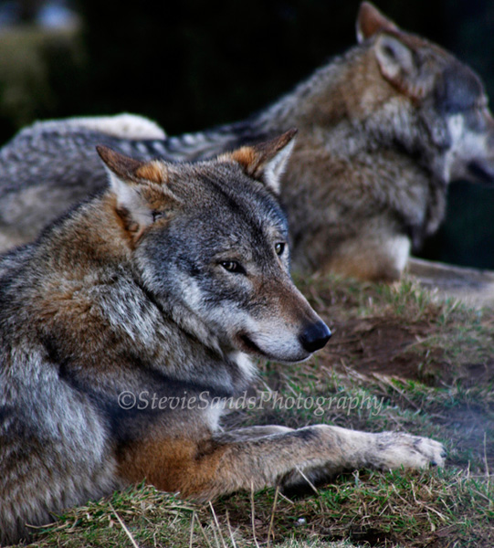 Wildlife, Wolf, Highland Wildlife park