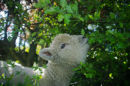 Baby Doll Sheep Billy