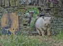Baby Doll Sheep Billy & Benny