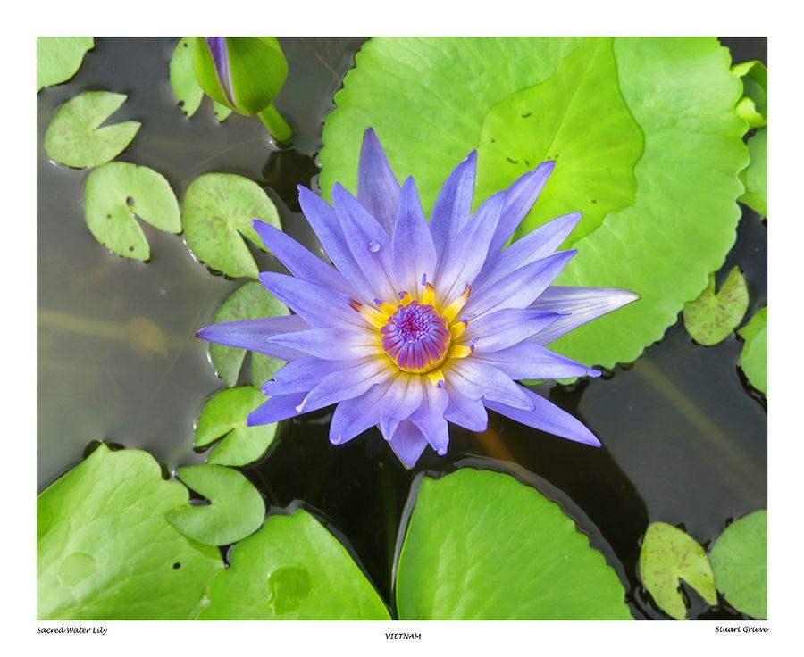 Cambodia Lily Pad