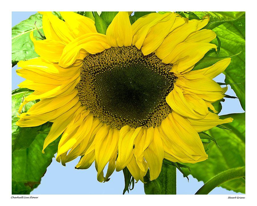 Chartwell Sunflower