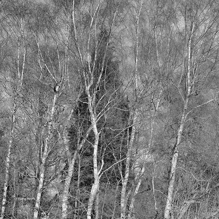 Filigree Birch