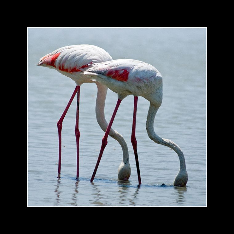 Flamingo Duo