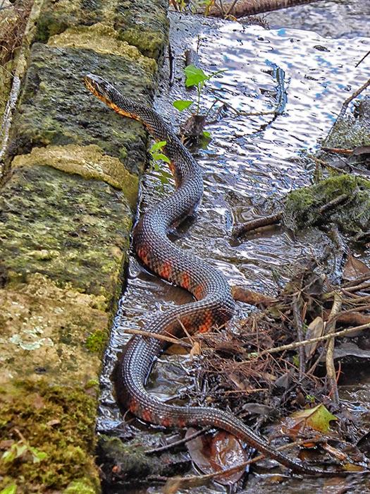Mud Snake USA
