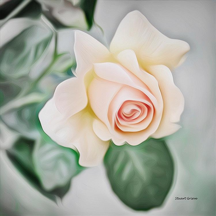 Peace Rose