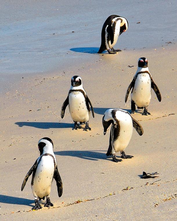 Penguin Formation