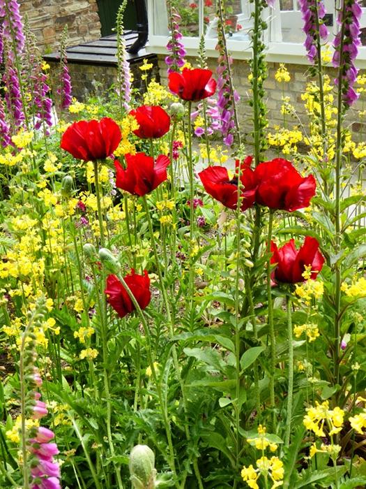 Poppies Heligan