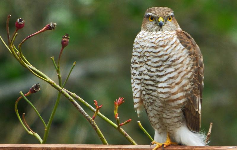 Resident Sparrowhawk