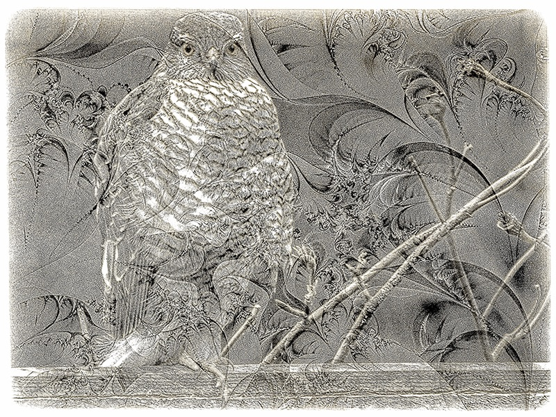 Sparrowhawk Etching