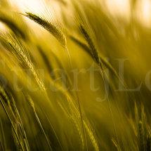 Wheat Breeze