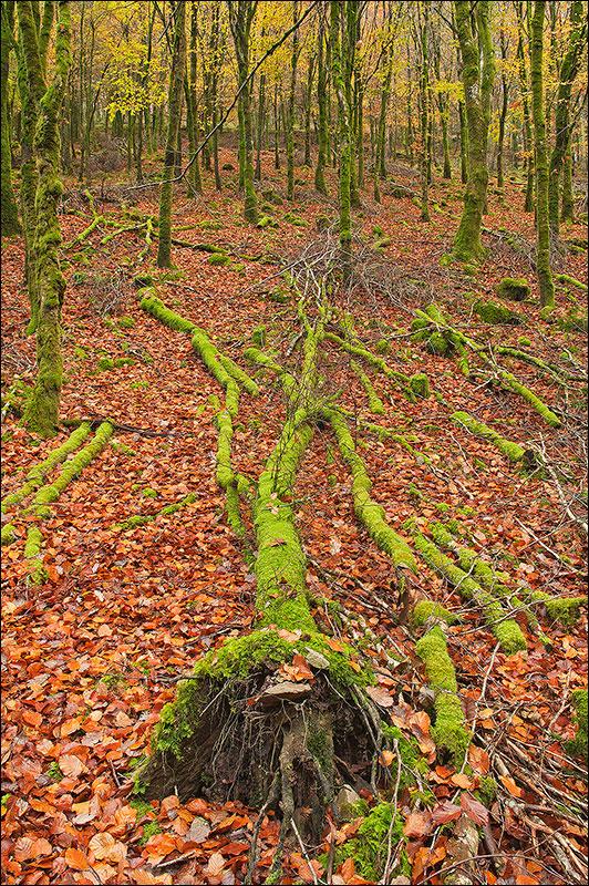 Autumn woodland.