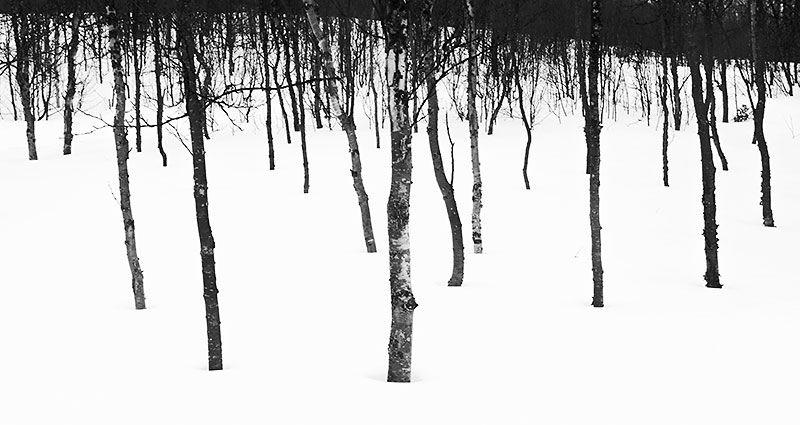 The snowy woodland