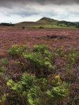 Ferns amongst the heather