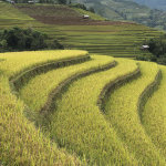 The rice terraces before harvest