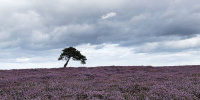Lone tree amongst the heather.