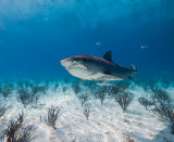 Tiger Shark in the Shallows
