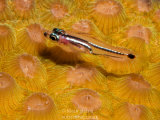 Goby on Coral