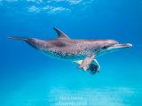 Atlantic Spotted Dolphin; Yuki Kusachi