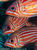 Red Striped Squirrelfish