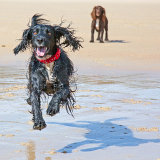 Lucy Knight (Working Cocker Spaniel) at Ouaisne Bay