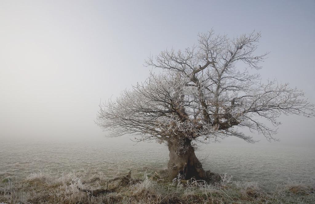 Frozen. Ancient Oak Dargate.