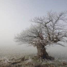 Frozen. Ancient Oak Dargate.