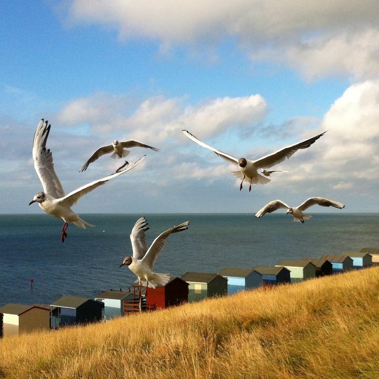 Gulls over Tankerton Huts