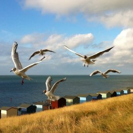 Bay Gulls
