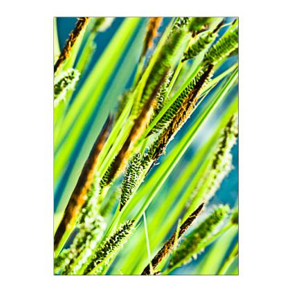 GC.020  Carex Elata 'Aurea'