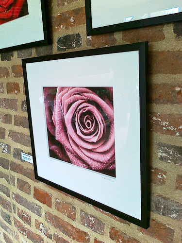 Chocolate-toned Rose