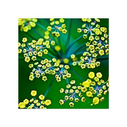 GC.030 Fennel flowerhead