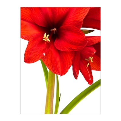 GC.032 Hippeastrum 'Royal Red'